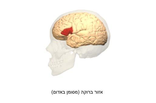 איור של אזור ברוקה במוח
