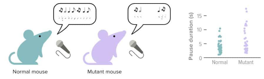 איור שוני בין עכברים-מחקר תאי מוח המעורבים בגמגום